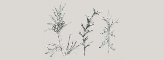 Salsola Kali. Una deriva vegetal